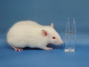 Foto mostra rato que forneceu óvulos que foram fertilizados com esperma conservado por liofilização. (Foto:  AFP Photo/Kyoto University/Takehito Kaneko)