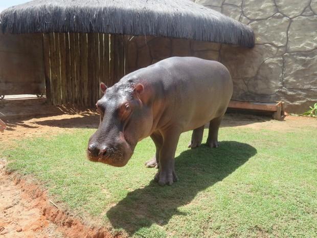 O hipopótamo Yago, do Aquário de Natal, ganhou próteses dentárias de metal (Foto: Andréa Tavares/G1)