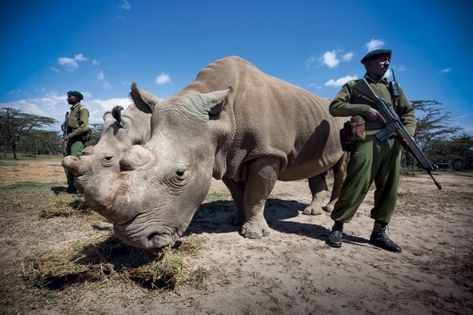 Costas quentes: Sudan, o último rinoceronte--branco do norte, e sua companheira são protegidos por seguranças para evitar que caçadores tirem sua vida para ficar com o chifre, usado na Ásia para curar o câncer (Foto: Revista Galileu)