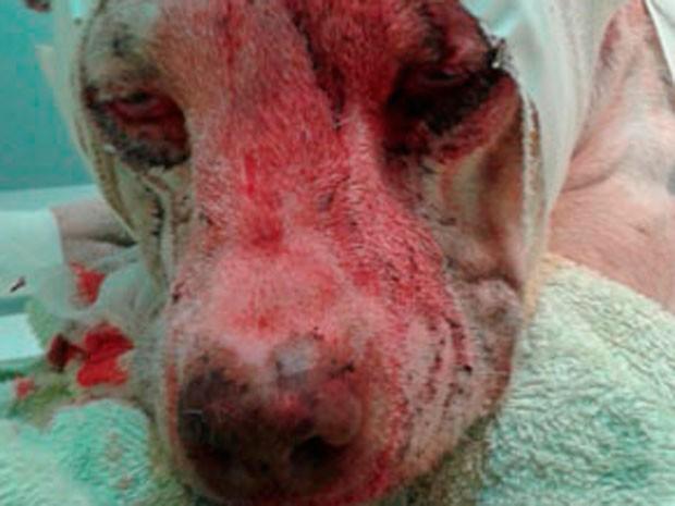 Pit bull sofre ferimentos graves após ser alvo de ataque em Salvador (Foto: Luis Filipe Sigrist/Arquivo Pessoal)