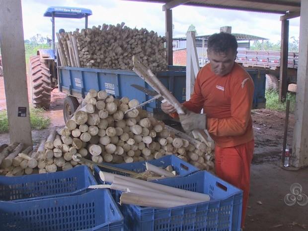Famílias trabalham na colheita dos associados para evitar gastos (Foto: Reprodução/TV Rondônia)