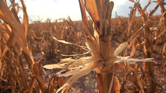 Falta de chuva prejudica produção e milharais são abandonados em MT