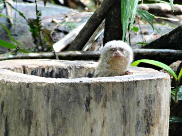 Existência do mico-leãozinho em Rondônia foi comprovada em 2010 (Foto: Agência Imagem News)