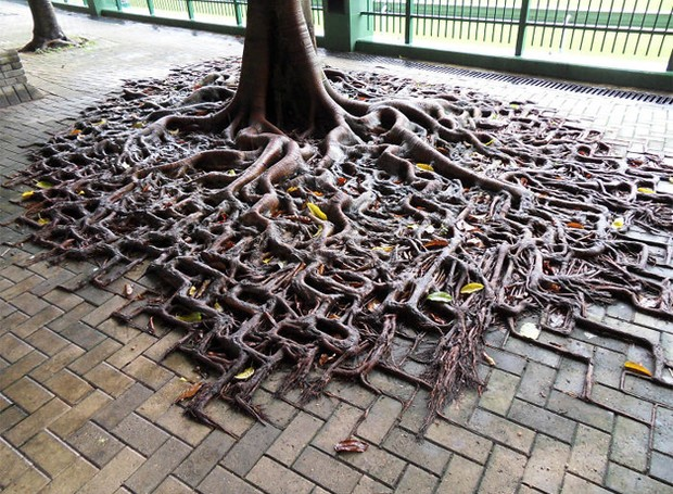 As raízes desta árvore contornam o desenho do piso (Foto: Reprodução)