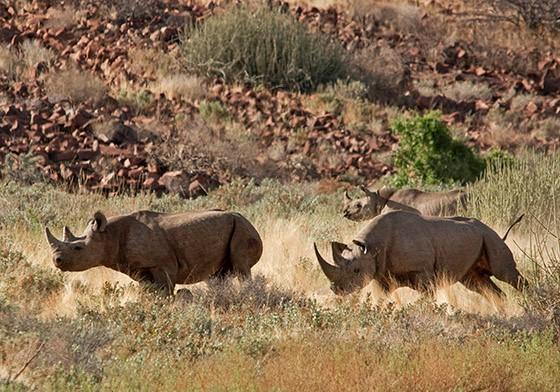 Um  rinoceronte-negro adulto ataca um macho menor  (Foto: © Haroldo Castro/Época)