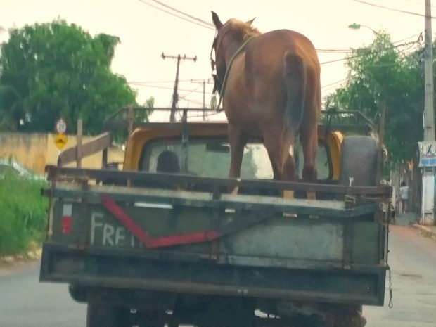 Internauta fotografou cavalo na carroceria de caminhonete em Cuiabá (Foto: Carlos Silva/ Arquivo pessoal)