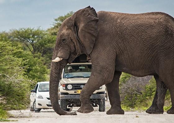 Mesmo contra os prognósticos, vimos dezenas de elefantes em Etosha e os veículos precisaram até parar para dar passagem aos animais  (Foto: © Haroldo Castro/ÉPOCA)