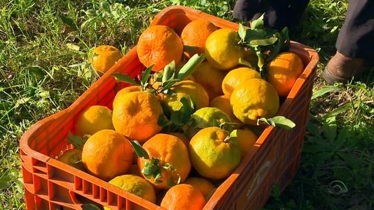 Pequenos produtores de Liberato Salzano se destacam na produção de citrus no Rio Grande do Sul