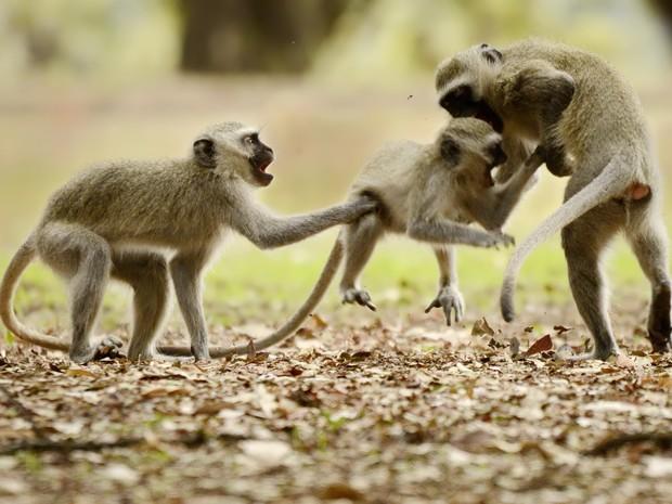 vervet monkey_terradagente (Foto: Claudia Komesu/ Vc no TG)