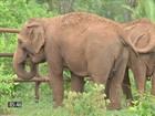 Elefantas são resgatadas de circo e inauguram o 1º santuário do país
