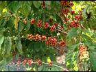 Agricultores do ES estão colhendo as variedades precoces de café conilon