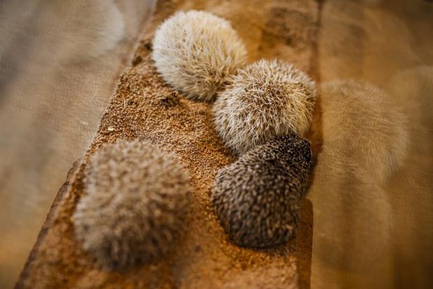 Japão tem café temático dedicado aos ouriços (Foto: Thomas Peter/Reuters)