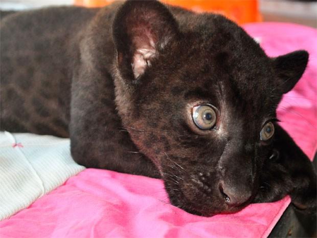 Filhote de onça-preta que nasceu no Zoológico de Salvador (Foto: Divulgação/Inema)