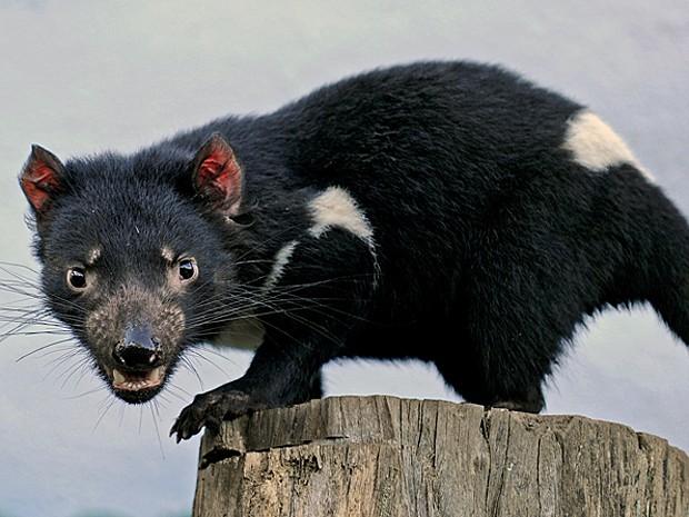 Diabo da Tasmânia (Foto: Greg Wood/Arquivo AFP)