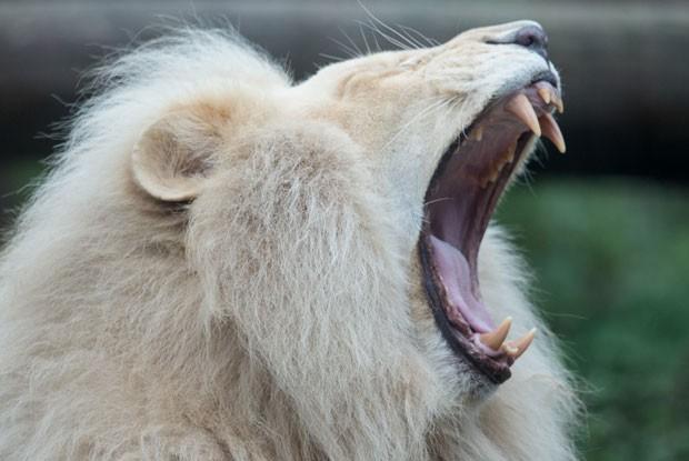 Leão chamado Haldir também foi visto na maior preguiça no zoo de Bratislava, na Eslováquia (Foto: Joe Klamar/AFP)