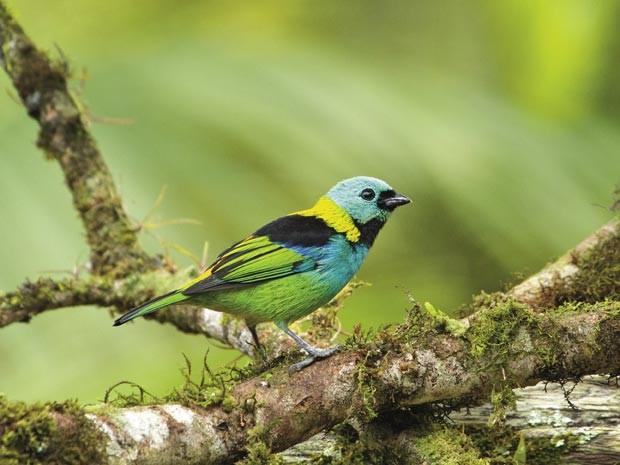 Foto de uma saíra-sete-cores (Foto: Lester Scalon/Divulgação)