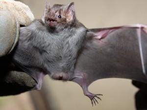 Resultado de imagem para raiva de morcego