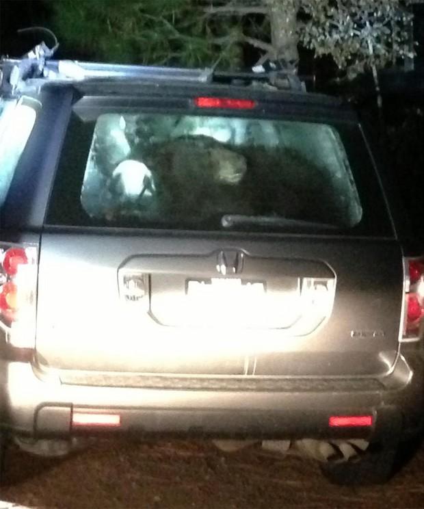 Polícia alertou para que moradores fechem seus carros devidamente, para evitar que ursos fiquem trancados no veículo (Foto: Divulgação/Truckee Police Department:)