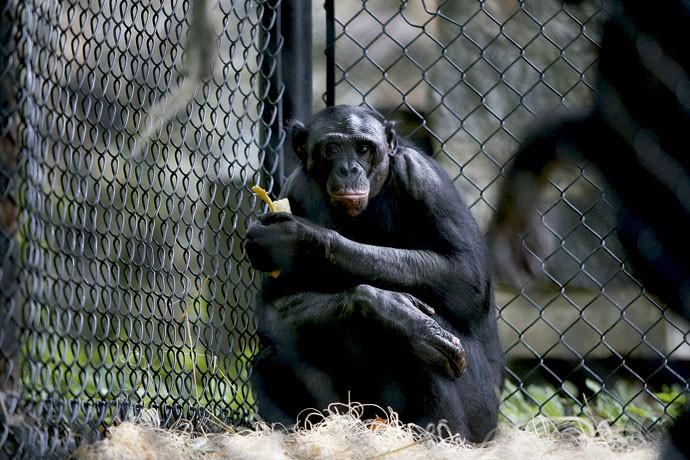 BRIAN | O bonobo recebeu doses diárias dos remédios Paxil e Valium e contou com a ajuda de um psiquiatra para se recuperar dos abusos sexuais infligidos pelo pai (Foto: Kristyna Wentz-Graff)