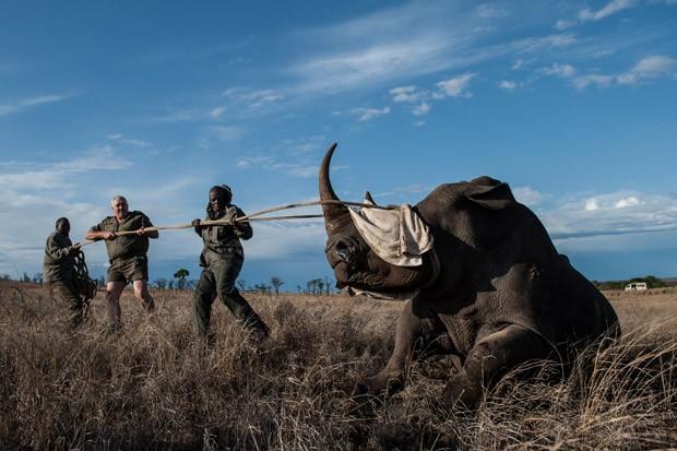 Animal é puxado após ter o rosto coberto para reduzir o estresse durante operação de realocação no Parque Nacional de Kruger, na África do Sul (Foto: Stefan Heunis/AFP)