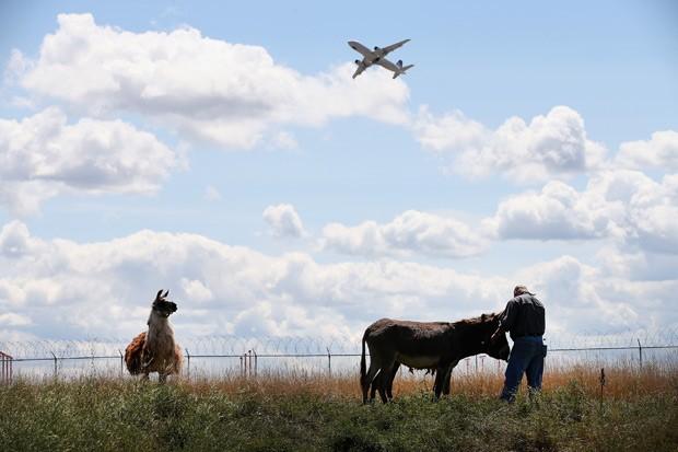 aeroporto - [Internacional] Aeroporto de Chicago passa a usar lhamas para manter grama aparada Lhama1