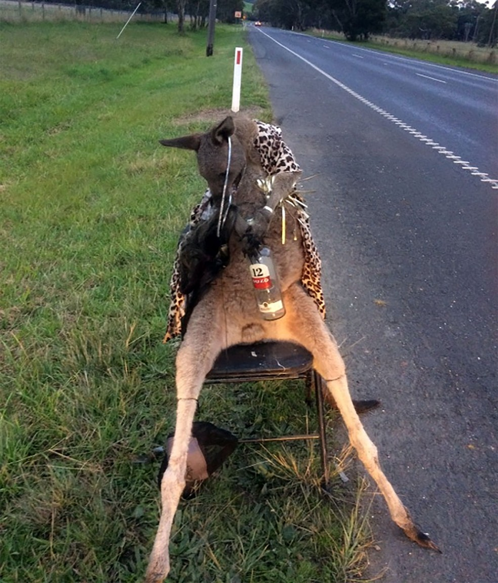 Foto mostra um canguru morto amarrado a uma cadeira à beira da estrada nos arredores de melbourne. Animal foi morto com um tiro (Foto: Handout / Department of Environment, Land, Water and Planning / AFP)