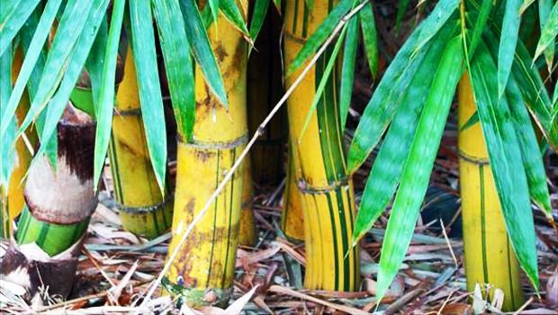 Essa espécie, também conhecida como bambu-brasileiro, tem grande apelo estético (Foto: Eulâmpio Vianna Neto / TG)