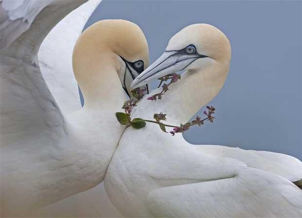Um par de gansos-patola se aproxima e um deles porta o que parece uma guirlanda de flores, em foto desta sexta-feira (20) tirada em Bempton Cliffs, na Inglaterra. Em 1967, havia apenas 22 pares dessas aves no local, mas em 2009  o número havia subido para cerca de 8 mil. A costa do Reino Unido é um importante ponto para a espécie instalar seus ninhos. (Foto: Reuters)