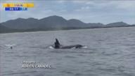 Velejadores flagram baleias na Barra da Lagoa, em Florianópolis