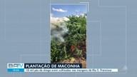 Plantação com nove toneladas de maconha é erradicada em Abaré, no norte do estado