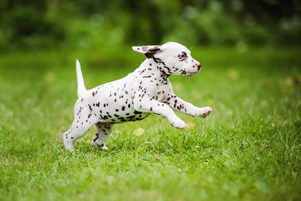 dalmatian puppy (Foto: Getty Images/iStockphoto)