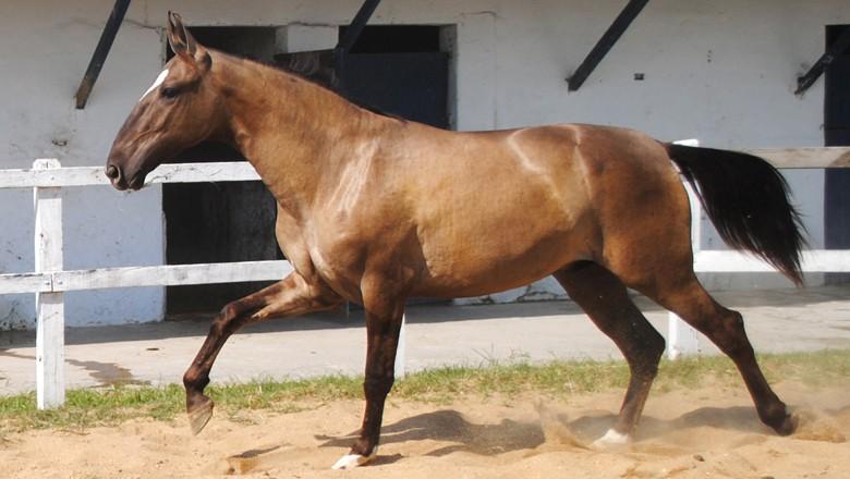 campolina-cavalo (Foto: Wikimedia Commons)