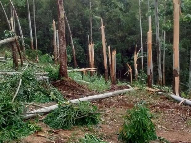 Árvores foram derrubadas pelo vento forte em São Ludgero (Foto: Fernando Sombrio/Divulgação)