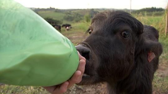 Bezerros de búfalos são alimentados com leite em pó na região de Itapetininga