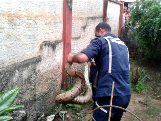 Bombeiro pegando cobra (Foto: Reprodução TV Acre)