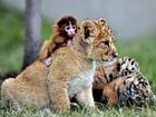 Amizade entre filhotes de tigre, leão e macaco é registrada em zoo da China