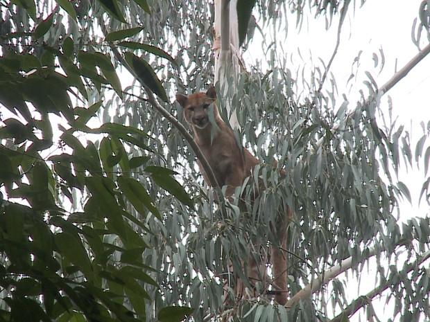 Presença do animal na região do RS é considerada rara  (Fot Reprodução/RBS TV)