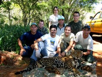 O macho Sancho foi visto pela última vez em maio de 2012, em Santa Tereza do Oeste (Foto: Projeto Carnívoros do Iguaçu / Divulgação)