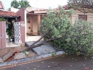 Vendaval derrubou árvore no Jardim Industrial em Ourinhos (Foto: Divulgação/Juliana Rodrigues)