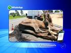 Cavalo cai em rodovia e é socorrido com guincho em Fernandópolis
