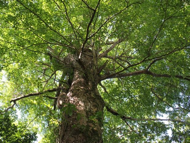 Árvore está situada na Ilha da Tanimbuca, dentro do Inpa, em Manaus (Foto: Girlene Medeiros/G1 AM)