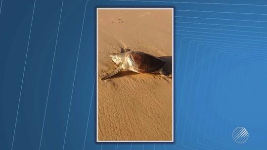 Filhote de tartaruga-verde é encontrado morto em praia de Vilas do Atlântico, na Bahia