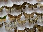 Brasileiro possui uma das maiores coleções de mariposas do mundo