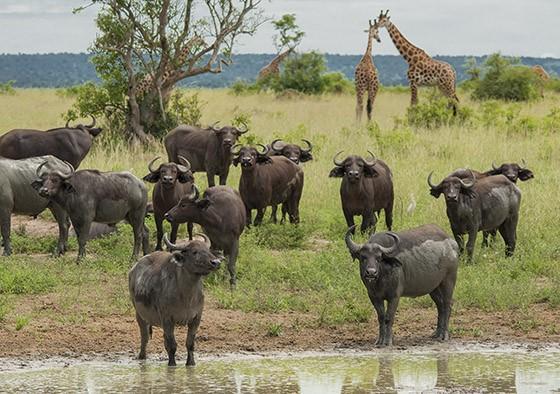 No Parque Nacional Cascatas de Murchison, em Uganda, búfalos-africanos dividem as savanas com girafas-de-rothschild (Giraffa camelopardalis rothchildi) ou girafa-de-uganda  (Foto: © Haroldo Castro/Época)