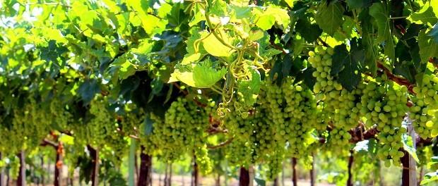 Vinho verde é produzido somente na região de mesmo nome, em Portugal (Foto: Reprodução)