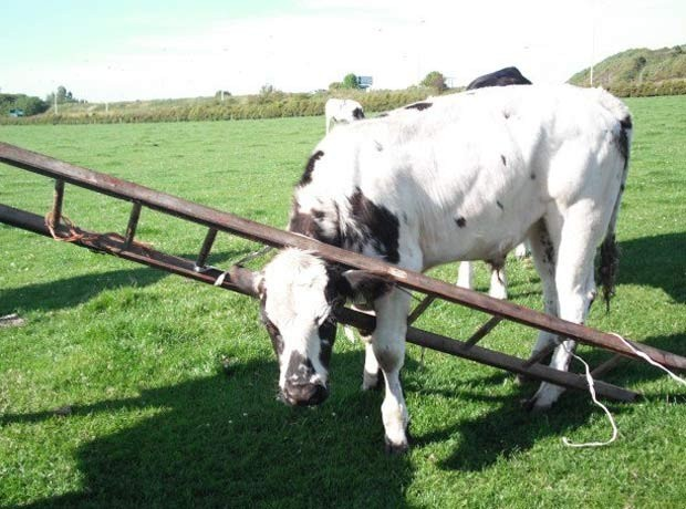 Em 2011, agentes da Sociedade para Prevenção da Crueldade contra Animais (SPCA) da Escócia resgataram uma vaca que foi encontrada com a cabeça entalada em uma escada em uma fazenda em Troon, Ayrshire (Foto: Divulgação/SPCA)