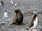 Pinguins famintos saem à caça do escasso krill antártico