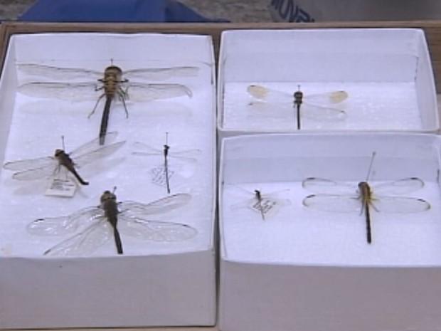 Larvas de libélulas são predaroras de larvas do mosquito da dengue (Foto: Reprodução / TV TEM)