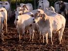 Arroba de boi gordo é vendido em média por R$ 126,85 em Rondônia