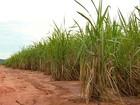 Safra de cana-de-açúcar tem queda de 50% devido à seca no ES